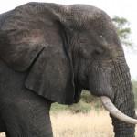 elephant on Uganda Gorilla Safari