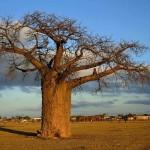 Tour Botswana Holiday baobab tree