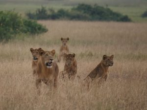 Best of Botswana Safari lions
