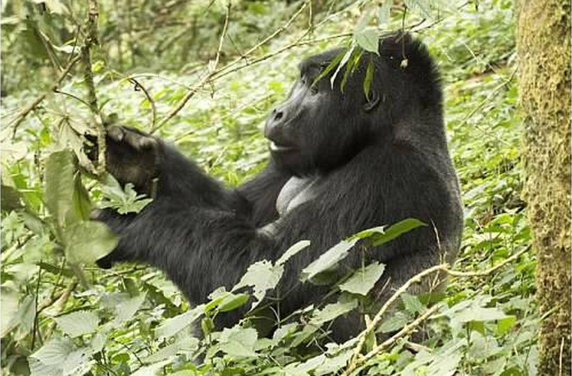 mountain gorilla foraging