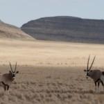Namibia Self Drive Safari oryx