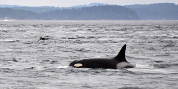 103 year old Orca Granny