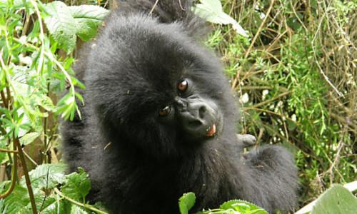 Great Gorilla Tracking Rwanda