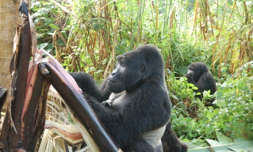 Uganda Gorilla Trek - photo by client Maxine Druker