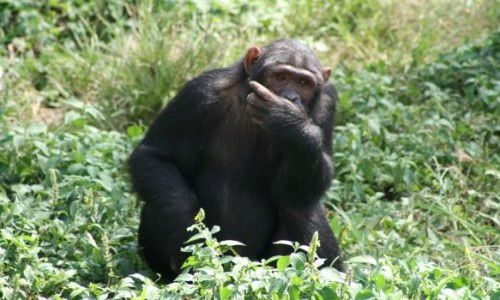 Ugandan Safari Chimp Trek