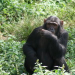 chimp on gorilla trekking uganda safari