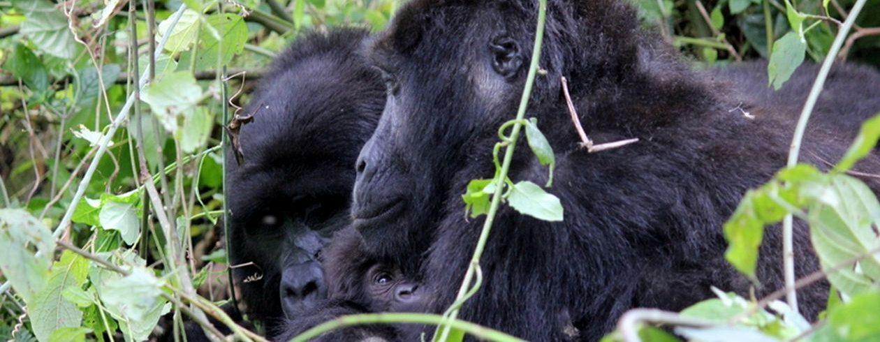 Uganda Safari Gorillas and Chimps