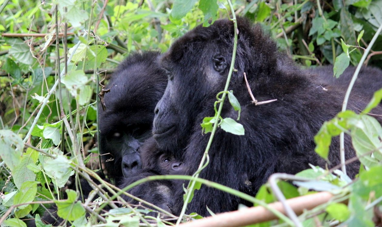 Uganda Safari Gorillas and Chimps Mubare family group with new baby