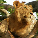Uganda tree climbing lion