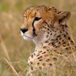 Best of Botswana Safari cheetah
